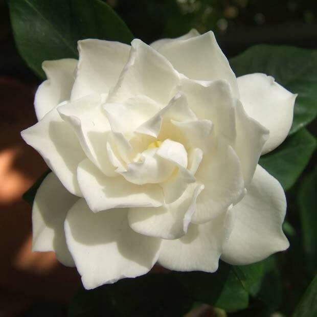 White Gardenia flower 1