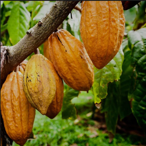 cacao absolute 1