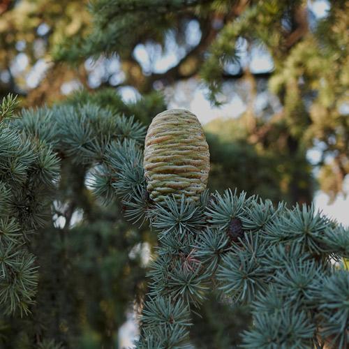 cedarwood 1