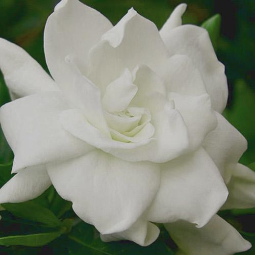gardenia enfleurage 1