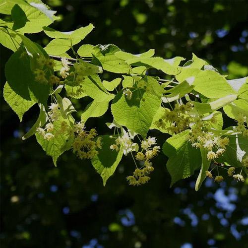 linden blossom 1