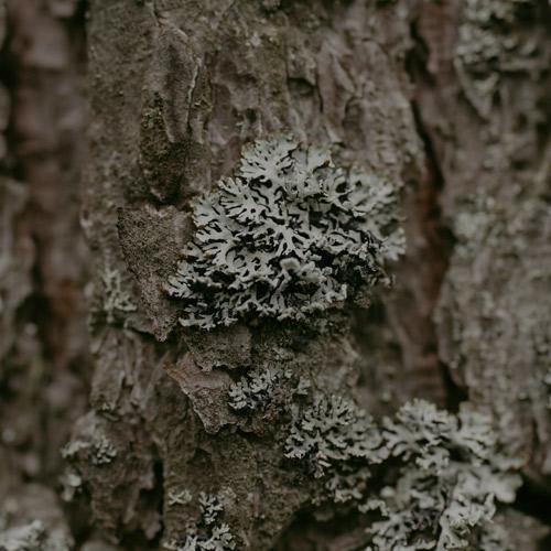oak moss absolute 1