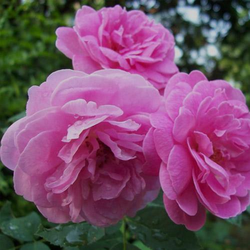 rose otto 1